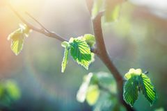 Fresh spring leaves, young spring leaves lit by sun rays. Beautiful nature in spring Royalty Free Stock Photo