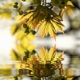 Fresh Spring maple leaves at sunset royalty free stock photography