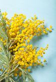 Fresh spring mimosa close up Royalty Free Stock Image