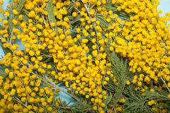Fresh spring mimosa close up Stock Photo