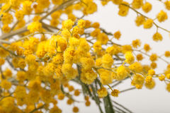 Fresh spring mimosa close up. Shallow depth of field. Selective Stock Photo