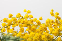 Fresh spring mimosa close up. Shallow depth of field. Selective Stock Images