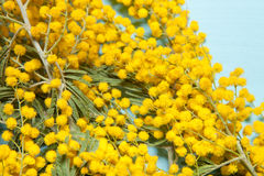Fresh spring mimosa close up. Shallow depth of field. Selective Royalty Free Stock Photography
