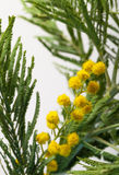 Fresh spring mimosa close up. Shallow depth of field. Selective Stock Photos