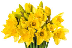 Fresh spring narcissus flowers isolated on white Stock Image