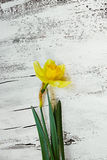 fresh spring narcissus flowers on white wooden backg Stock Photos