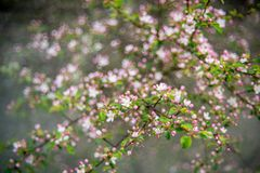 Fresh spring nature in vivid colors. Apple tree blooming in pink at sunrise light royalty free stock photos