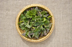 Fresh spring nettle sprouts in basket. Fresh spring time nettle sprouts in basket Stock Photography