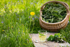 Fresh spring nettle. Suitable for salad, tea or use in cosmetics. Tea from nettle. Fresh spring nettle. Suitable for salad, tea or use in cosmetics stock image