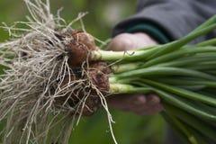 Fresh spring onion Royalty Free Stock Photos