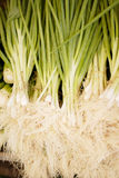 Fresh spring onions Stock Photography