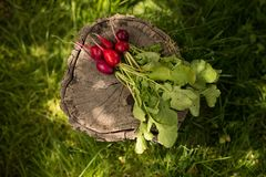 A fresh, spring, organic, red bunch of radishes and green leaves. Fresh vegetables arranged on a green grass background. stock photos