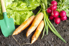 Fresh spring organic vegetables on the soil in the garden. Concept Royalty Free Stock Image