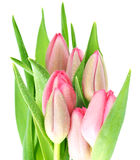 Fresh spring pink tulip flowers with water drops Stock Images
