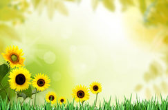 Fresh spring sunflower on a bright morning Stock Image
