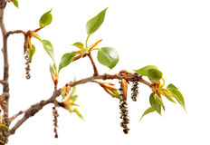 Fresh spring tree branch with leaves isolated on. Branch of poplar. Fresh spring tree branch with leaves isolated on a white background royalty free stock images