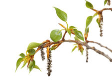 Fresh spring tree branch with leaves isolated on. Branch of poplar. Fresh spring tree branch with leaves isolated on a white background stock image