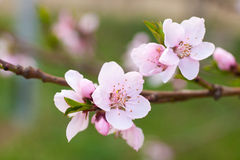 Fresh, spring tree with pink blossoms royalty free stock image