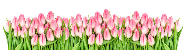 Fresh spring tulip flowers banner Floral border Bouquet. Fresh spring tulip flowers banner. Floral border. Bouquet of pink blooms isolated on white background stock photos