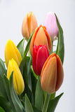 Fresh spring tulip flowers. Colorful bouquet of fresh spring tulip flowers Stock Photo