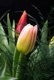 Fresh spring tulip flowers. Colorful bouquet of fresh spring tulip flowers Stock Photos