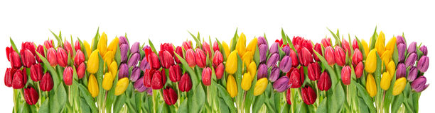 Fresh spring tulip flowers. Colorful floral border. Holidays Stock Image