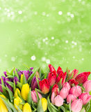 Fresh spring tulip flowers with water drops Stock Photography