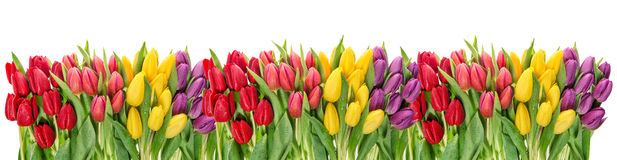 Fresh spring tulip flowers water drops Floral banner Stock Image