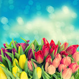 Fresh spring tulip flowers with water drops Royalty Free Stock Photos