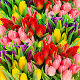 Fresh spring tulip flowers with water drops. Vibrant colors Royalty Free Stock Images
