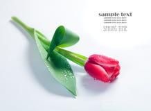 Fresh spring tulip on white Royalty Free Stock Image