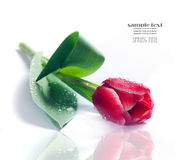 Fresh spring tulip on white Royalty Free Stock Photography