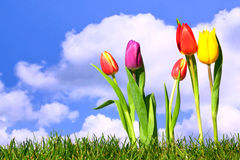 Fresh spring tulips Royalty Free Stock Photos