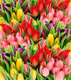 Fresh spring tulips. Bouquet of multicolor flowers with water dr Royalty Free Stock Image