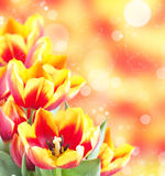 Fresh spring tulips Stock Photography