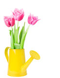 Fresh spring tulips flowers in watering can Stock Images