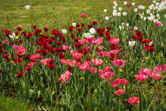 Fresh spring tulips on a green lawn with dandelions, Moscow. Image of fresh spring tulips on a green lawn with dandelions, Moscow Stock Photos