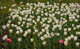 Fresh spring tulips on a green lawn with dandelions, Moscow. Image of fresh spring tulips on a green lawn with dandelions, Moscow Royalty Free Stock Image