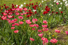 Fresh spring tulips on a green lawn with dandelions, Moscow. Image of fresh spring tulips on a green lawn with dandelions, Moscow Royalty Free Stock Photography