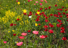 Fresh spring tulips on a green lawn with dandelions, Moscow. Image of fresh spring tulips on a green lawn with dandelions, Moscow Stock Images