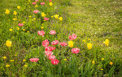 Fresh spring tulips on a green lawn with dandelions, Moscow. Image of fresh spring tulips on a green lawn with dandelions, Moscow Stock Photography