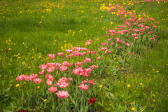 Fresh spring tulips on a green lawn with dandelions, Moscow. Image of fresh spring tulips on a green lawn with dandelions, Moscow Royalty Free Stock Images
