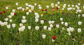 Fresh spring tulips on a green lawn with dandelions, Moscow. Image of fresh spring tulips on a green lawn with dandelions, Moscow Stock Photo