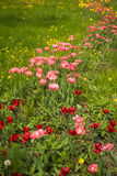 Fresh spring tulips on a green lawn with dandelions, Moscow. Image of fresh spring tulips on a green lawn with dandelions, Moscow Royalty Free Stock Photo