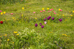 Fresh spring tulips on a green lawn with dandelions, Moscow. Image of fresh spring tulips on a green lawn with dandelions, Moscow Royalty Free Stock Photos