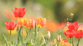 Fresh spring tulips stock video footage