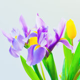 Fresh spring tulips and iris flowers. Stock Photography