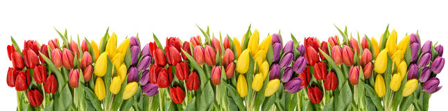 Fresh spring tulips water drops. Flower border Stock Photo