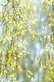 Fresh spring twig of birch in selective focus Royalty Free Stock Images