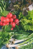 Fresh spring vegetables and edible wild herbs: radish, green and purple lettuce, onions, arugula, nettle, dandelion. Preparation f. Fresh spring vegetables and stock images
